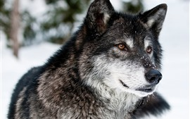 Wolf, face, snow, winter, wildlife