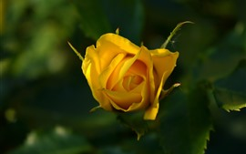 Preview wallpaper Yellow rose, petals, leaves, hazy