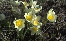 Желтые цветы травы сна
