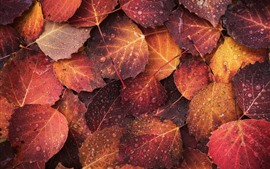Preview wallpaper Autumn, some foligars, water droplets