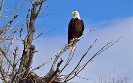 Preview wallpaper Bald eagle, tree, blue sky