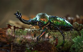 Preview wallpaper Beetle, horns, insect macro photography, water droplets