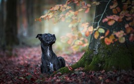 Black dog, autumn, ground, red leaves