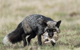Vorschau des Hintergrundbilder Schwarzer Fuchs jagt ein Kaninchen