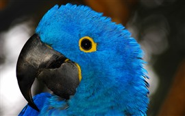 Preview wallpaper Blue feather parrot, head, eye