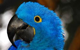 Papagaio de pena azul, cabeça, olho