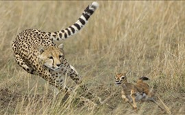 Preview wallpaper Cheetah hunting deer, speed