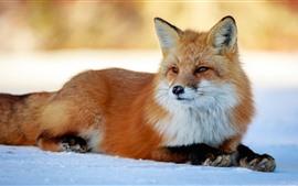 Lindo descanso de zorro, nieve