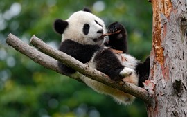 Preview wallpaper Cute panda play in the tree