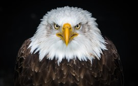 Preview wallpaper Eagle front view, white and brown feathers, beak, eyes