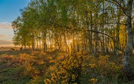 壁紙のプレビュー イングランド、夜明け、バーチ、木、太陽の光