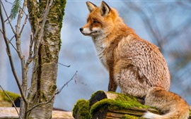 Preview wallpaper Fox sit on stump