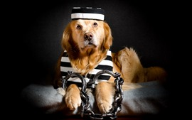 Preview wallpaper Funny dog, prisoner, chain