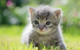Furry gray kitten, cute pet
