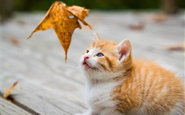 Preview wallpaper Furry kitten look at a leaf