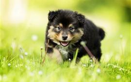 Filhote de cachorro peludo, grama verde