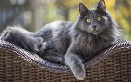 Gato cinzento, olhos verdes, descanso