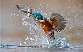 Preview wallpaper Kingfisher catching fish, water splash, moment