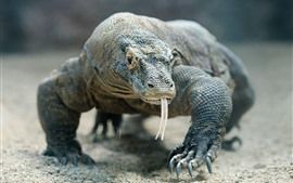 Preview wallpaper Komodo dragon, lizard