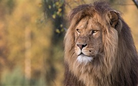 Leão, cara, juba, vida selvagem