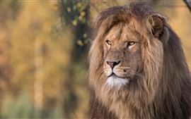Лев, лицо, грива, живая природа