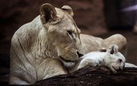 Leoa e filhote, animais selvagens