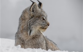 Preview wallpaper Lynx look at a side, snow, winter