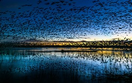 Preview wallpaper Many birds flight, lake, sky, dusk