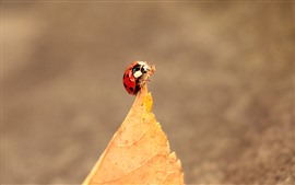 Preview wallpaper One red ladybug, yellow leaf