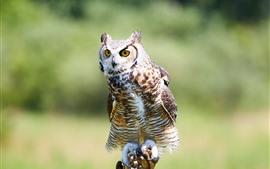 Сова, птица, стоя, деревянная палочка