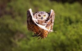 Vôo de coruja, asas, momento