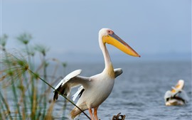 Preview wallpaper Pelican, birds, lake