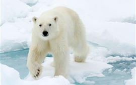 Preview wallpaper Polar bear look at you, face, snow