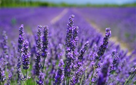Preview wallpaper Purple lavender flowers close-up, flower field