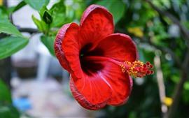 Preview wallpaper Red hibiscus close-up, petals, pistil