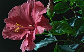 Preview wallpaper Red hibiscus, petals, green foliage, black background