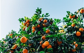 Preview wallpaper Tangerines tree, harvest