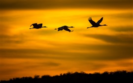 Three birds flight in sky, silhouette, sunset