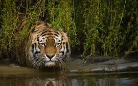 Preview wallpaper Tiger, face, look, grass, water