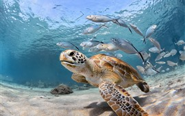 Preview wallpaper Turtle and fish, sea, underwater