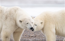 Preview wallpaper Two polar bears, wildlife