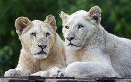 Preview wallpaper Two white lions, rest