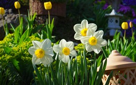 White daffodils, yellow tulips, garden