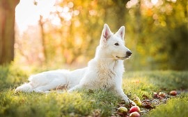 Preview wallpaper White dog, grass, rest, apples