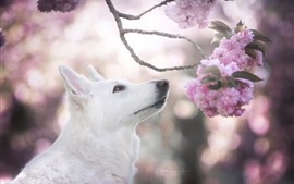 Preview wallpaper White dog, head, pink sakura bloom