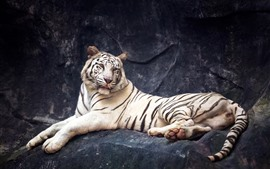 Preview wallpaper White tiger, look, rest, rocks