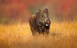 Preview wallpaper Wild boar, yellow grass