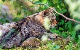 Wildcat, brindilles, nature