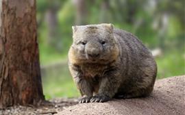 Wombat australiano, vida silvestre