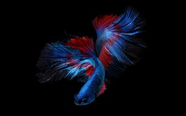 Preview wallpaper Beautiful blue fish, black background